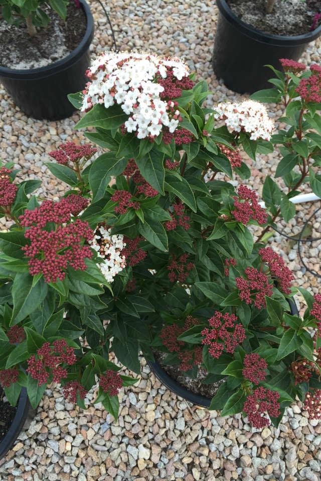 Viburnum tinus anvi 2
